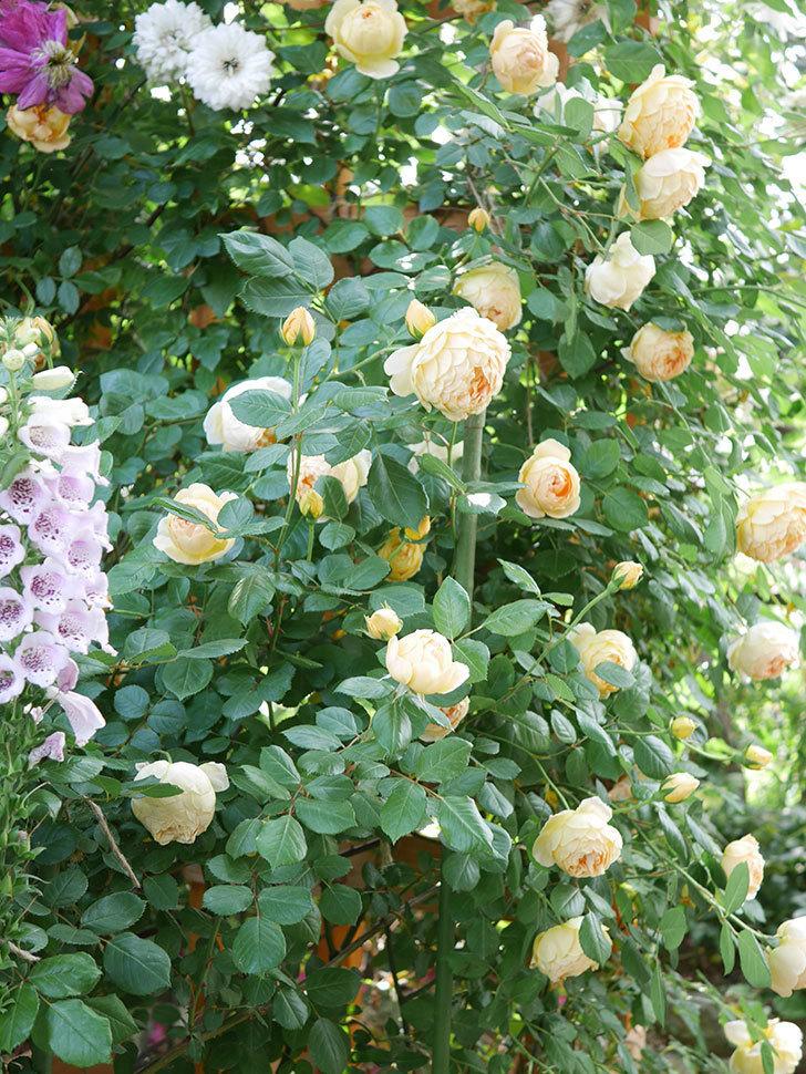 ジュード・ジ・オブスキュア(Jude the Obscure)の花がたくさん咲いた。半ツルバラ。2021年-023.jpg