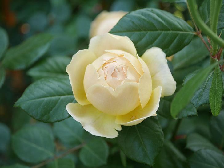 ジュード・ジ・オブスキュア(Jude the Obscure)の花がたくさん咲いた。半ツルバラ。2021年-025.jpg