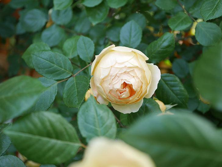 ジュード・ジ・オブスキュア(Jude the Obscure)の花がたくさん咲いた。半ツルバラ。2021年-026.jpg