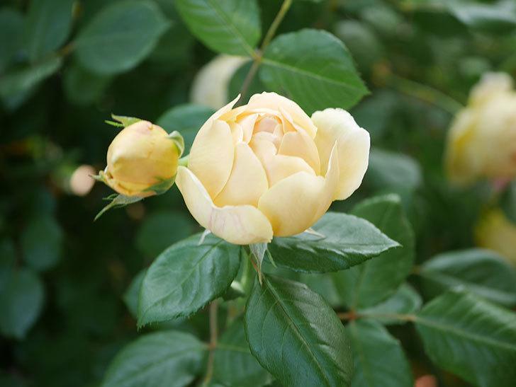 ジュード・ジ・オブスキュア(Jude the Obscure)の花がたくさん咲いた。半ツルバラ。2021年-027.jpg