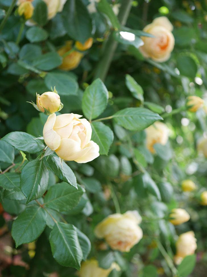 ジュード・ジ・オブスキュア(Jude the Obscure)の花がたくさん咲いた。半ツルバラ。2021年-029.jpg