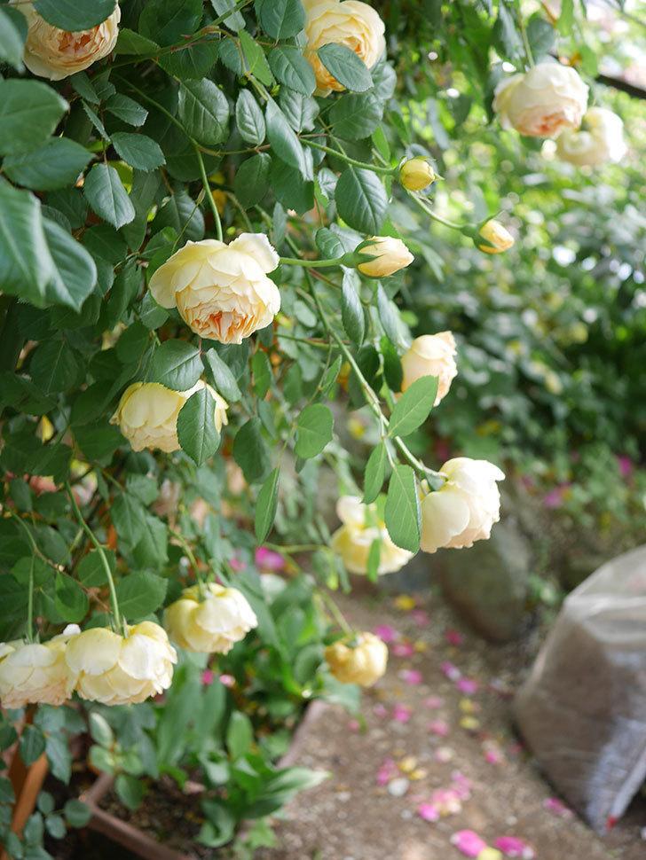 ジュード・ジ・オブスキュア(Jude the Obscure)の花がたくさん咲いた。半ツルバラ。2021年-030.jpg
