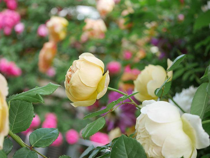 ジュード・ジ・オブスキュア(Jude the Obscure)の花がたくさん咲いた。半ツルバラ。2021年-031.jpg