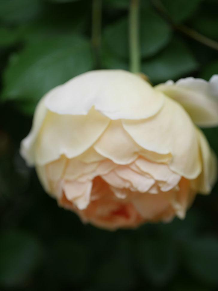 ジュード・ジ・オブスキュア(Jude the Obscure)の花がたくさん咲いた。半ツルバラ。2021年-032.jpg