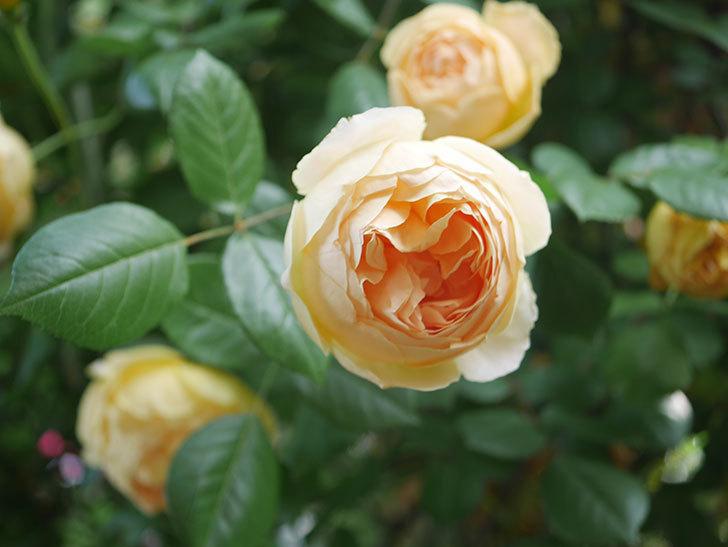 ジュード・ジ・オブスキュア(Jude the Obscure)の花がたくさん咲いた。半ツルバラ。2021年-033.jpg