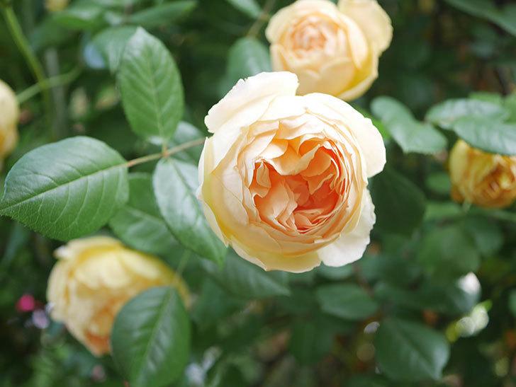 ジュード・ジ・オブスキュア(Jude the Obscure)の花がたくさん咲いた。半ツルバラ。2021年-034.jpg