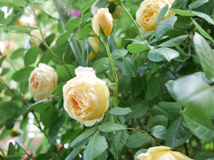 ジュード・ジ・オブスキュア(Jude the Obscure)の花がたくさん咲いた。半ツルバラ。2021年-035.jpg