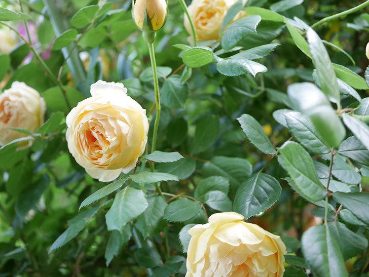 ジュード・ジ・オブスキュア(Jude the Obscure)の花がたくさん咲いた。半ツルバラ。2021年-036.jpg