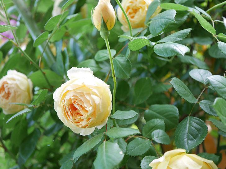 ジュード・ジ・オブスキュア(Jude the Obscure)の花がたくさん咲いた。半ツルバラ。2021年-037.jpg