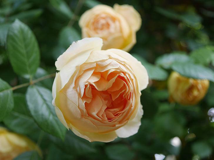 ジュード・ジ・オブスキュア(Jude the Obscure)の花がたくさん咲いた。半ツルバラ。2021年-038.jpg
