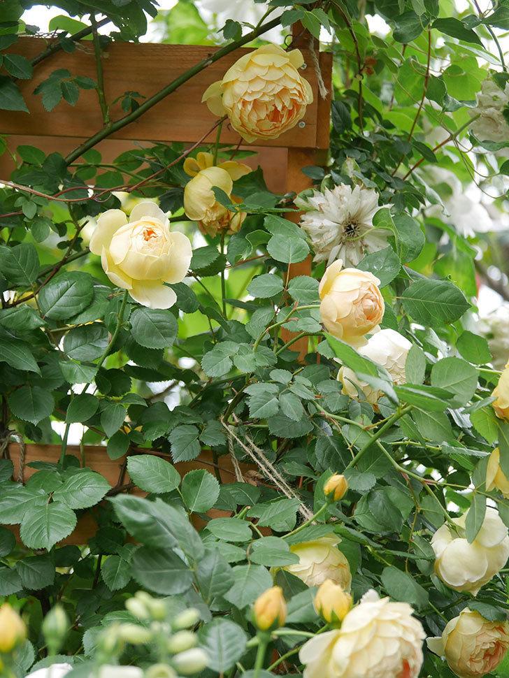 ジュード・ジ・オブスキュア(Jude the Obscure)の花がたくさん咲いた。半ツルバラ。2021年-039.jpg