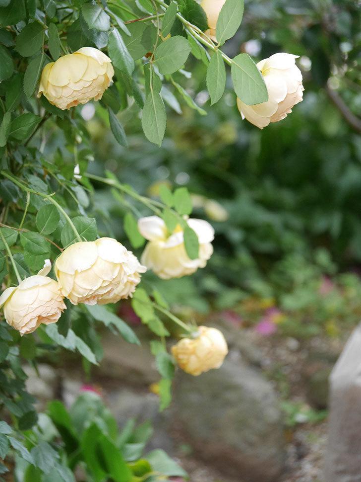 ジュード・ジ・オブスキュア(Jude the Obscure)の花がたくさん咲いた。半ツルバラ。2021年-041.jpg