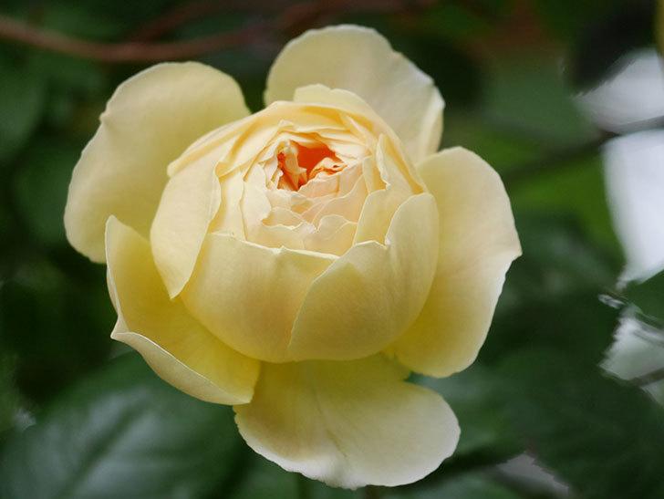 ジュード・ジ・オブスキュア(Jude the Obscure)の花がたくさん咲いた。半ツルバラ。2021年-043.jpg