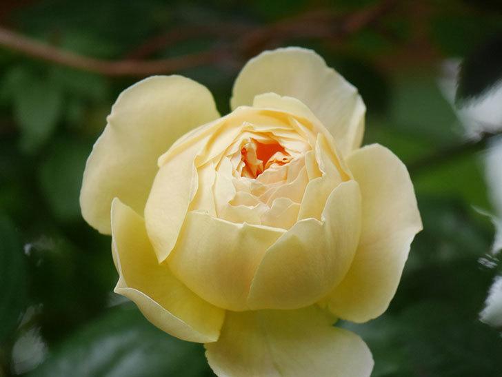 ジュード・ジ・オブスキュア(Jude the Obscure)の花がたくさん咲いた。半ツルバラ。2021年-044.jpg