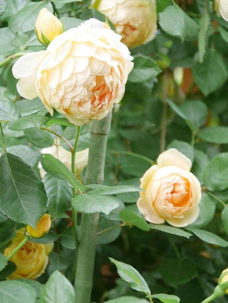 ジュード・ジ・オブスキュア(Jude the Obscure)の花がたくさん咲いた。半ツルバラ。2021年-046.jpg