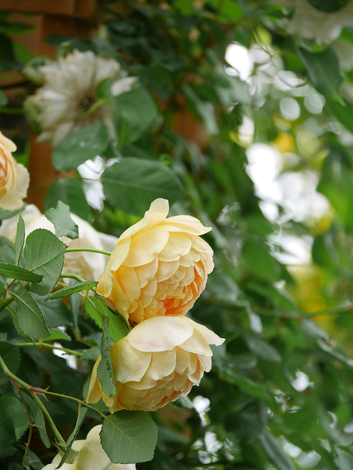ジュード・ジ・オブスキュア(Jude the Obscure)の花がたくさん咲いた。半ツルバラ。2021年-047.jpg