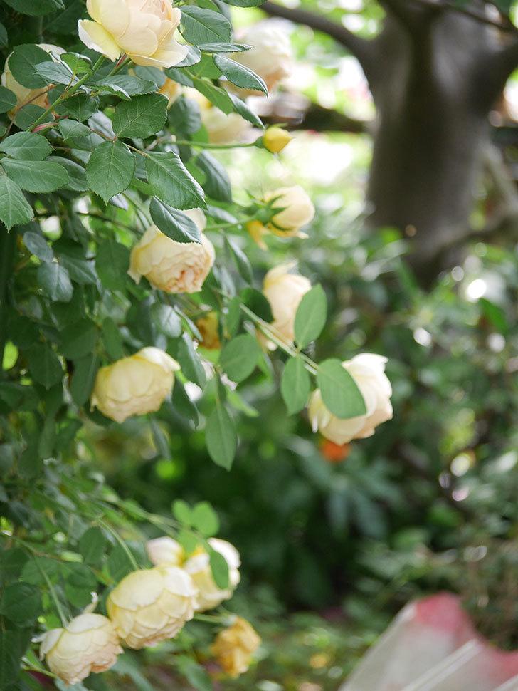 ジュード・ジ・オブスキュア(Jude the Obscure)の花がたくさん咲いた。半ツルバラ。2021年-049.jpg