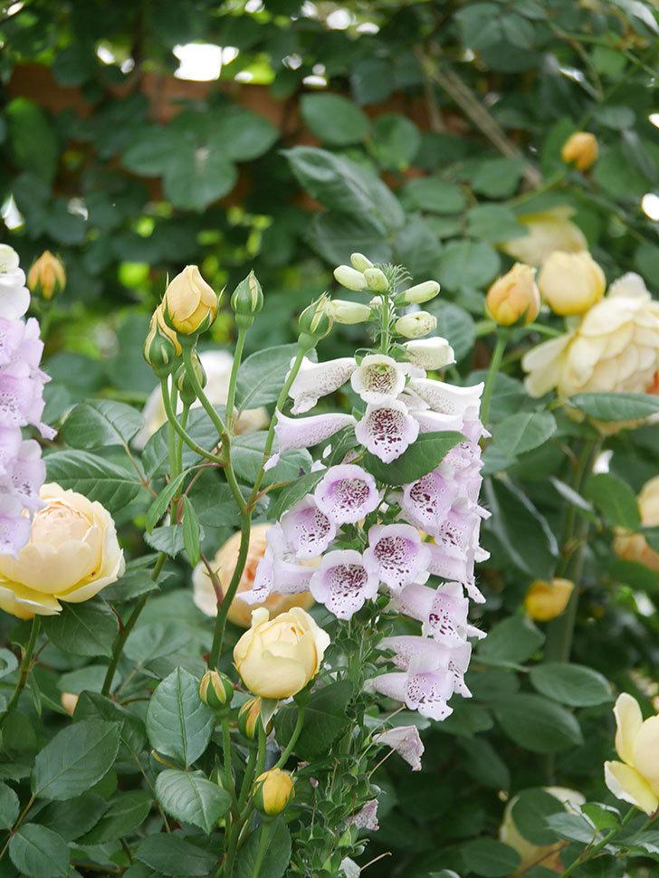 ジュード・ジ・オブスキュア(Jude the Obscure)の花がたくさん咲いた。半ツルバラ。2021年-050.jpg
