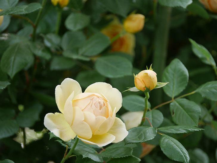 ジュード・ジ・オブスキュア(Jude the Obscure)の花がたくさん咲いた。半ツルバラ。2021年-051.jpg