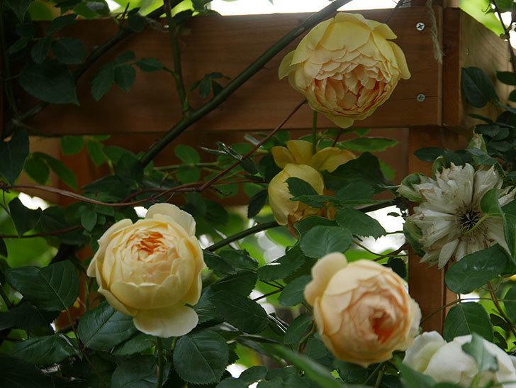 ジュード・ジ・オブスキュア(Jude the Obscure)の花がたくさん咲いた。半ツルバラ。2021年-053.jpg