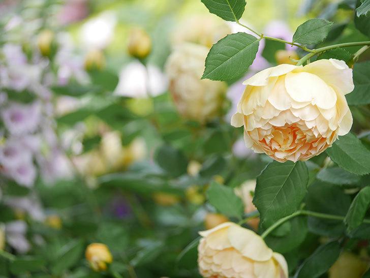 ジュード・ジ・オブスキュア(Jude the Obscure)の花がたくさん咲いた。半ツルバラ。2021年-054.jpg