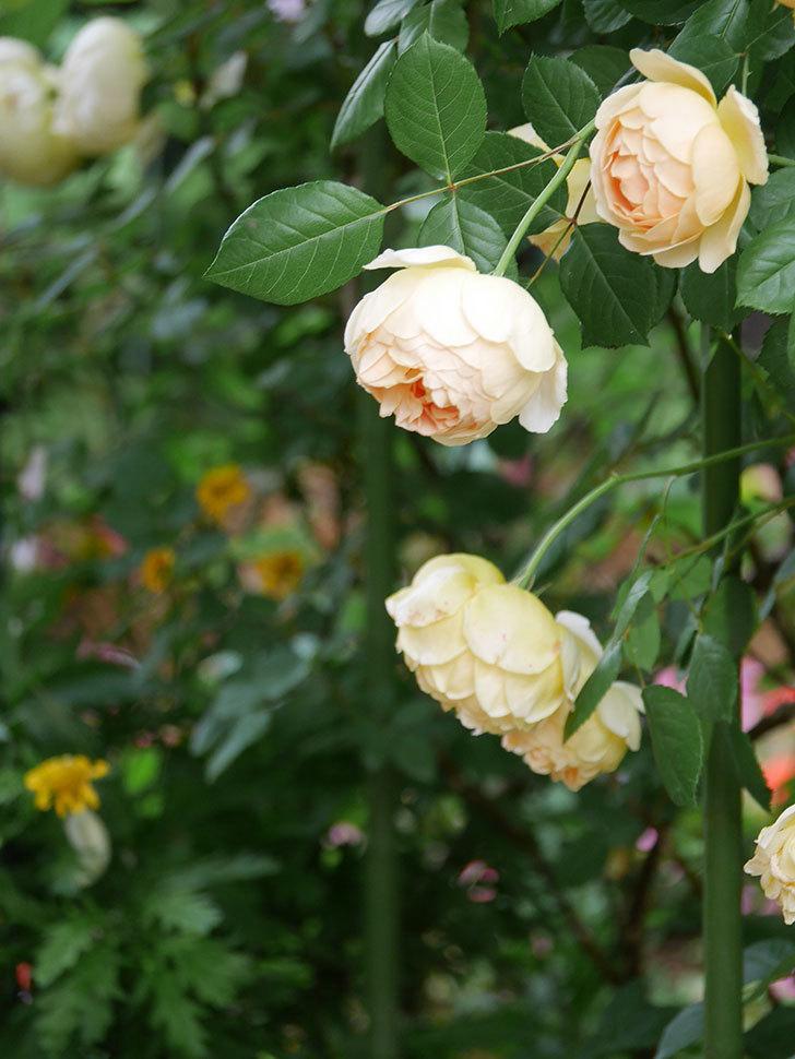 ジュード・ジ・オブスキュア(Jude the Obscure)の花がたくさん咲いた。半ツルバラ。2021年-056.jpg
