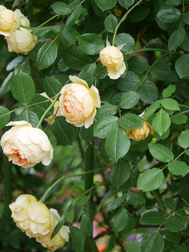ジュード・ジ・オブスキュア(Jude the Obscure)の花がたくさん咲いた。半ツルバラ。2021年-057.jpg