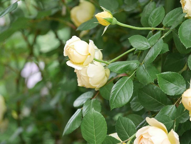 ジュード・ジ・オブスキュア(Jude the Obscure)の花がたくさん咲いた。半ツルバラ。2021年-058.jpg