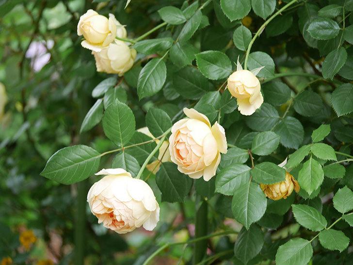 ジュード・ジ・オブスキュア(Jude the Obscure)の花がたくさん咲いた。半ツルバラ。2021年-059.jpg