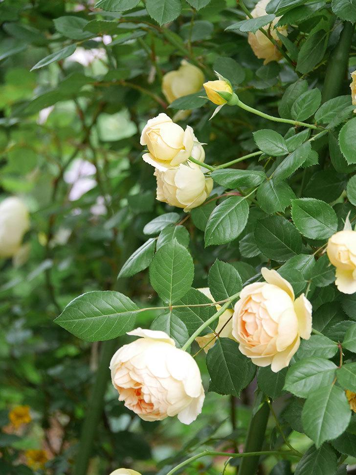 ジュード・ジ・オブスキュア(Jude the Obscure)の花がたくさん咲いた。半ツルバラ。2021年-060.jpg