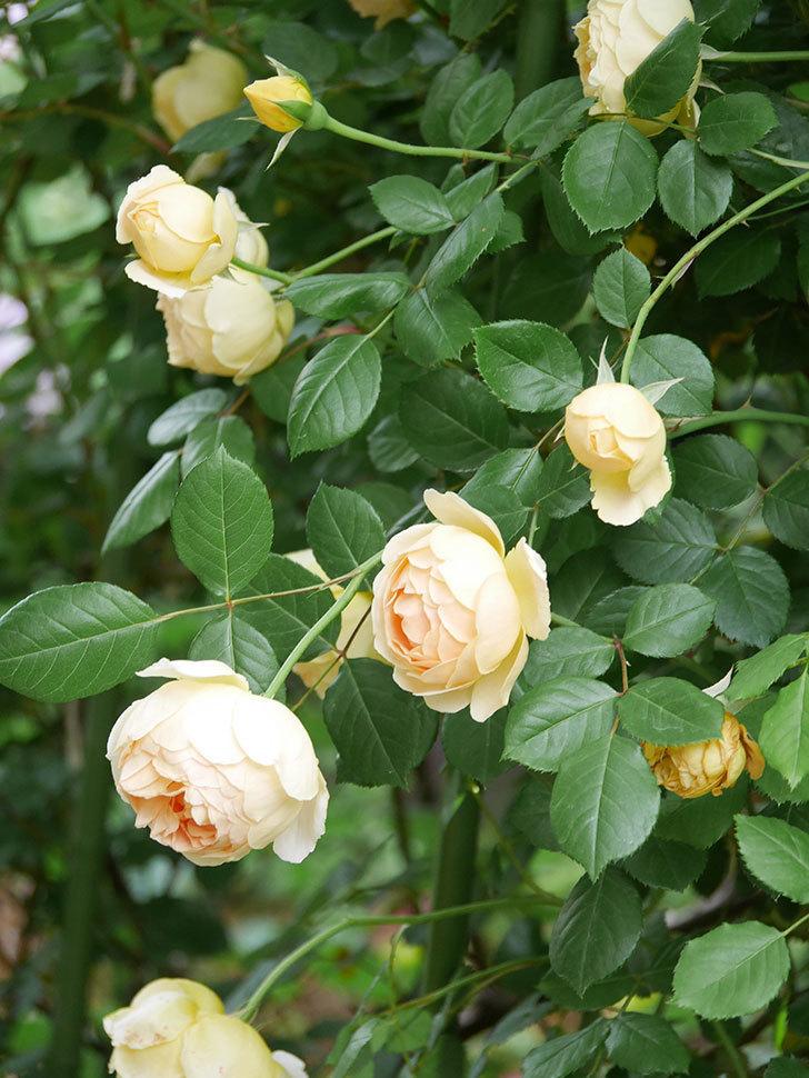 ジュード・ジ・オブスキュア(Jude the Obscure)の花がたくさん咲いた。半ツルバラ。2021年-061.jpg