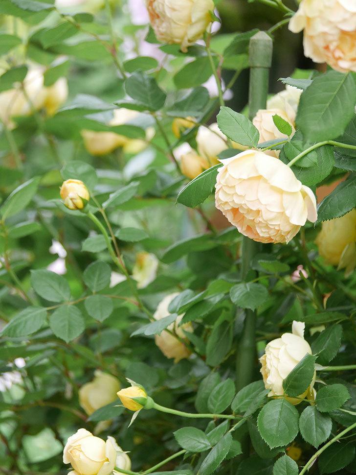 ジュード・ジ・オブスキュア(Jude the Obscure)の花がたくさん咲いた。半ツルバラ。2021年-062.jpg