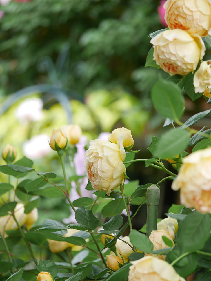 ジュード・ジ・オブスキュア(Jude the Obscure)の花がたくさん咲いた。半ツルバラ。2021年-063.jpg