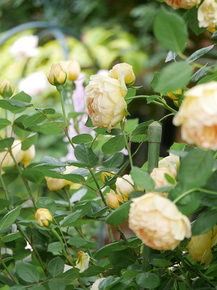ジュード・ジ・オブスキュア(Jude the Obscure)の花がたくさん咲いた。半ツルバラ。2021年-064.jpg