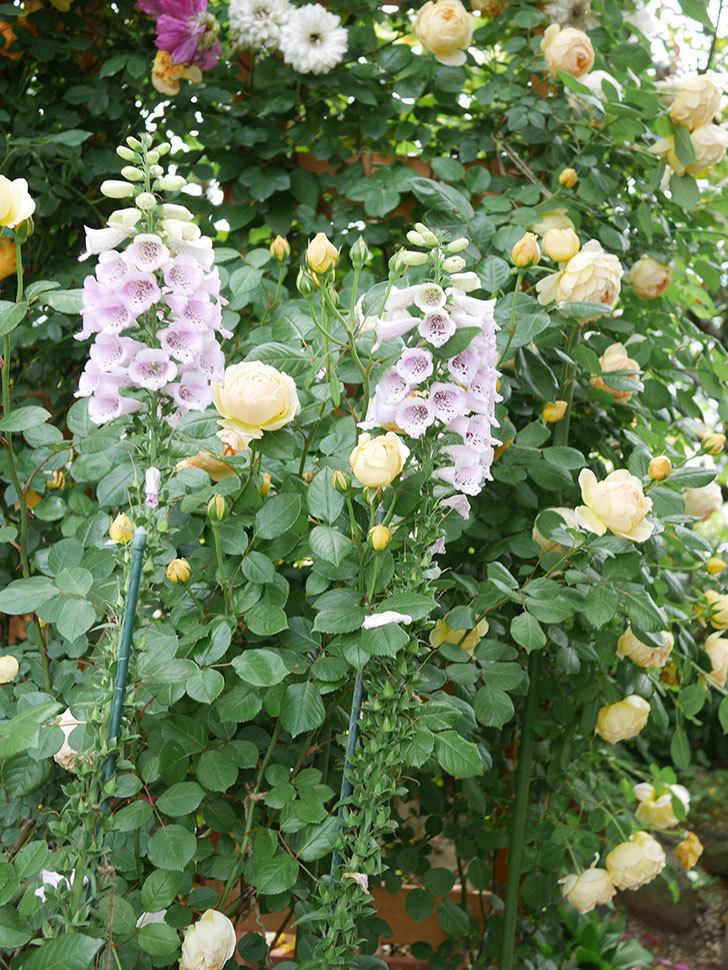 ジュード・ジ・オブスキュア(Jude the Obscure)の花がたくさん咲いた。半ツルバラ。2021年-065.jpg