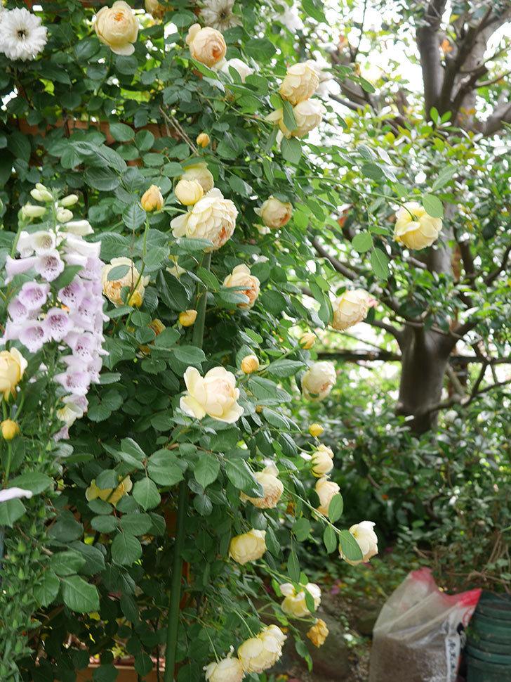 ジュード・ジ・オブスキュア(Jude the Obscure)の花がたくさん咲いた。半ツルバラ。2021年-066.jpg