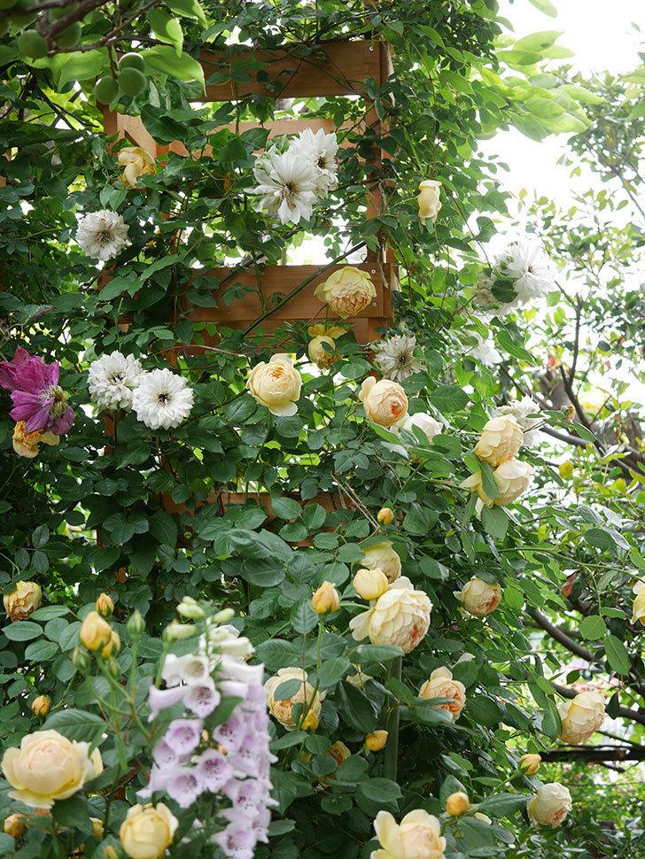 ジュード・ジ・オブスキュア(Jude the Obscure)の花がたくさん咲いた。半ツルバラ。2021年-067.jpg