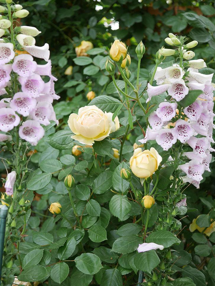ジュード・ジ・オブスキュア(Jude the Obscure)の花がたくさん咲いた。半ツルバラ。2021年-068.jpg