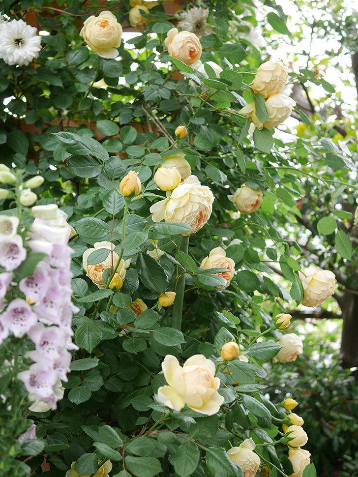 ジュード・ジ・オブスキュア(Jude the Obscure)の花がたくさん咲いた。半ツルバラ。2021年-069.jpg