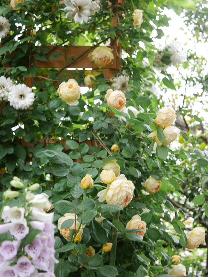 ジュード・ジ・オブスキュア(Jude the Obscure)の花がたくさん咲いた。半ツルバラ。2021年-070.jpg