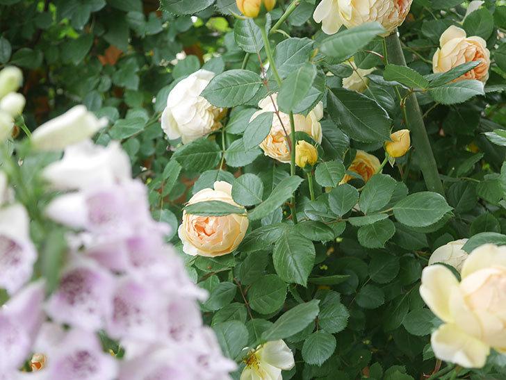 ジュード・ジ・オブスキュア(Jude the Obscure)の花がたくさん咲いた。半ツルバラ。2021年-071.jpg
