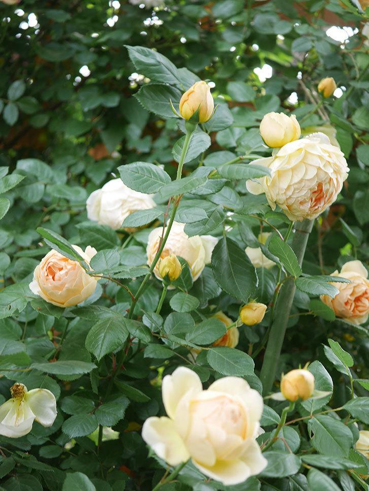 ジュード・ジ・オブスキュア(Jude the Obscure)の花がたくさん咲いた。半ツルバラ。2021年-072.jpg