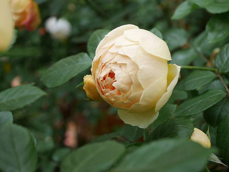 ジュード・ジ・オブスキュア(Jude the Obscure)の花がたくさん咲いた。半ツルバラ。2021年-073.jpg