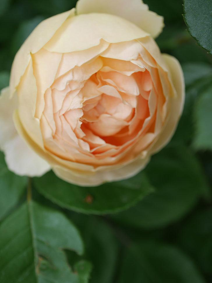 ジュード・ジ・オブスキュア(Jude the Obscure)の花がたくさん咲いた。半ツルバラ。2021年-074.jpg