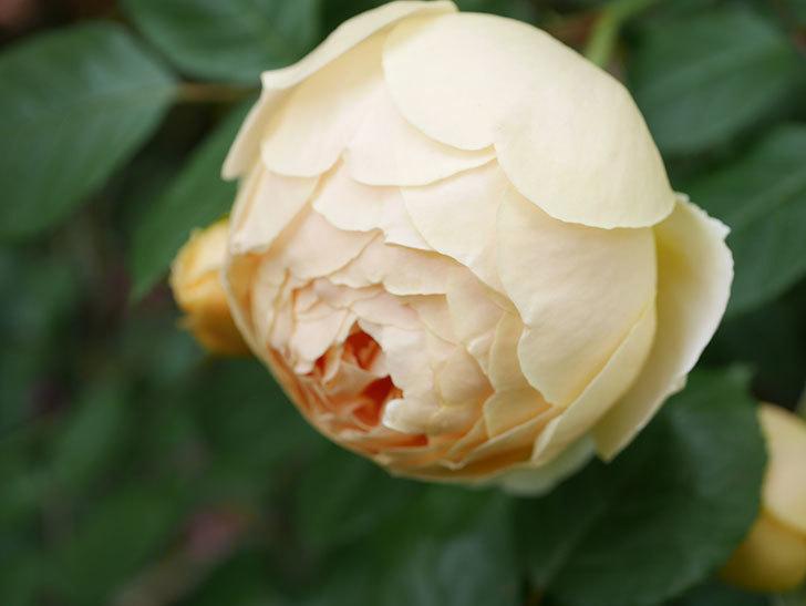 ジュード・ジ・オブスキュア(Jude the Obscure)の花がたくさん咲いた。半ツルバラ。2021年-075.jpg