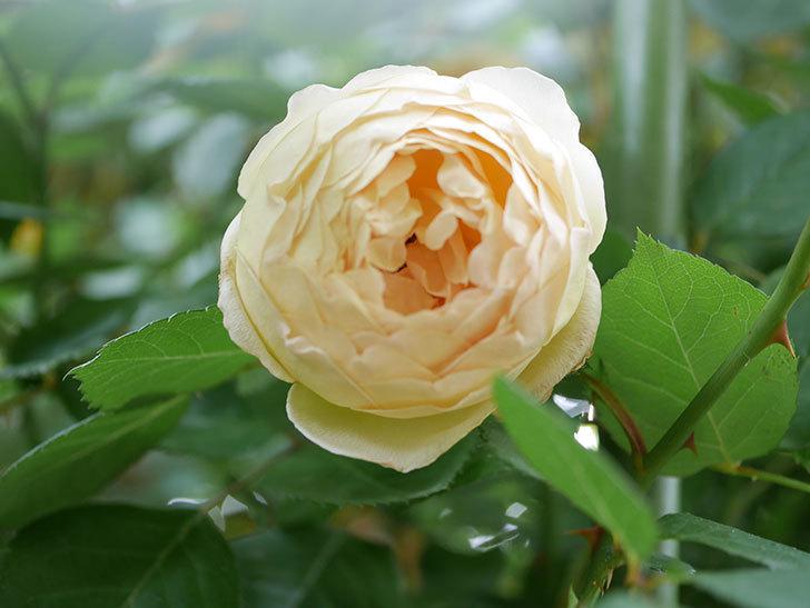 ジュード・ジ・オブスキュア(Jude the Obscure)の花がたくさん咲いた。半ツルバラ。2021年-078.jpg