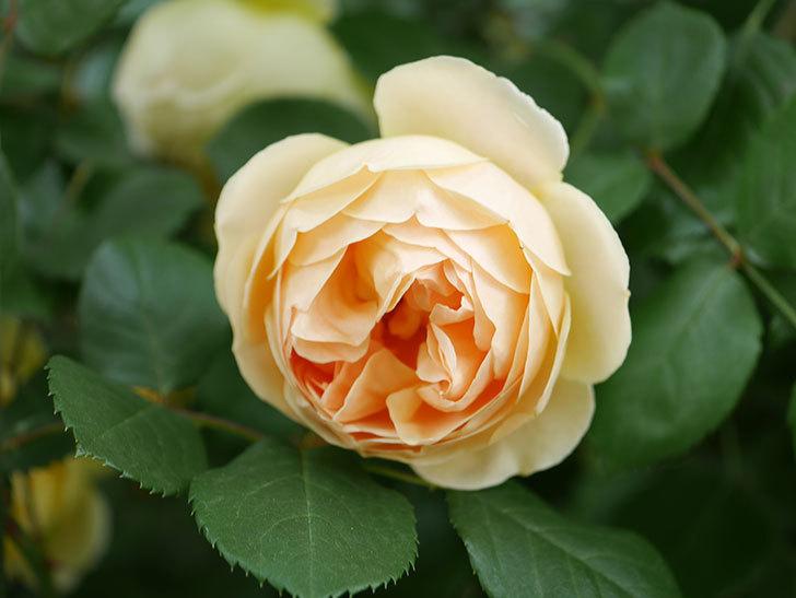 ジュード・ジ・オブスキュア(Jude the Obscure)の花がたくさん咲いた。半ツルバラ。2021年-079.jpg