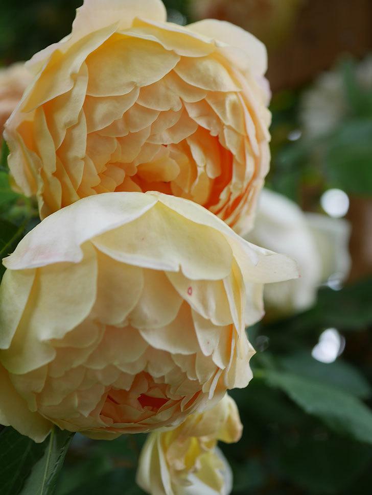 ジュード・ジ・オブスキュア(Jude the Obscure)の花がたくさん咲いた。半ツルバラ。2021年-080.jpg