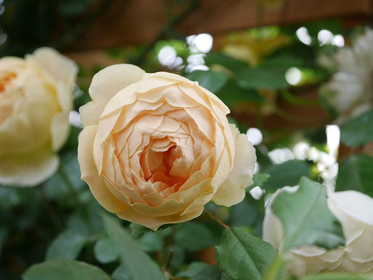 ジュード・ジ・オブスキュア(Jude the Obscure)の花がたくさん咲いた。半ツルバラ。2021年-081.jpg