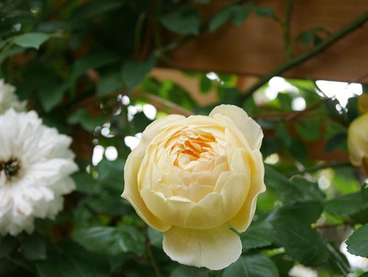 ジュード・ジ・オブスキュア(Jude the Obscure)の花がたくさん咲いた。半ツルバラ。2021年-082.jpg